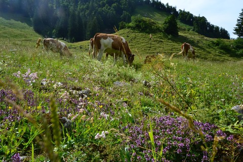bavarian-walking-bergblumen-fuehrung-almwiese-kuehe-thaurer.jpg