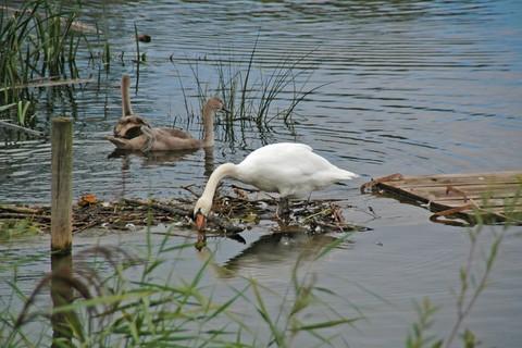 chiemsee-natur-fuehrer-schwan-vogelkunde-vogelbeobachtung.jpg