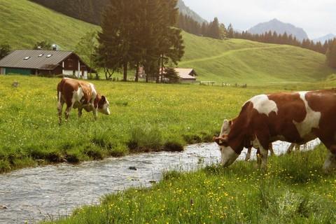 Kuehe-Trockenbachtal.jpg