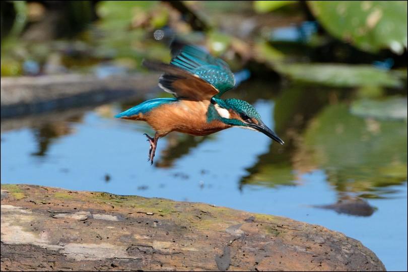 chiemsee-natur-fuehrer-eisvogel-vogelkunde-vogelbeobachtung.jpg