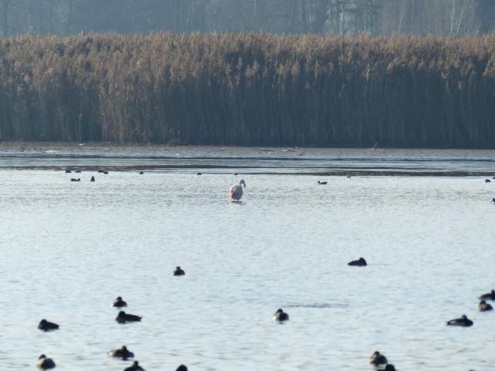 flamingo-voegel-am-chiemsee-(c)chiemsee-alpenland-tourismus.jpg